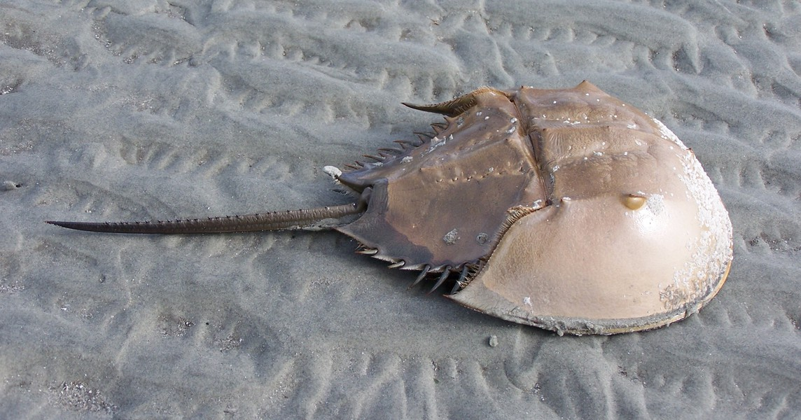horseshoe_crab_100_5921