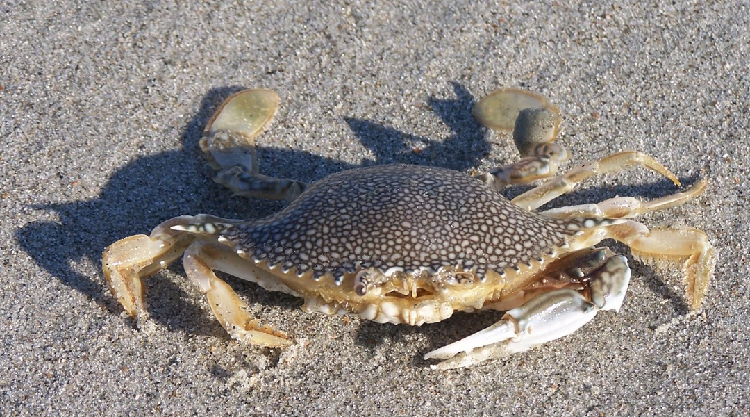 speckled_crab_100_7022