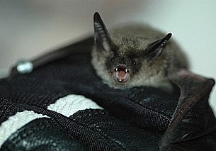 northern_long-eared_bat