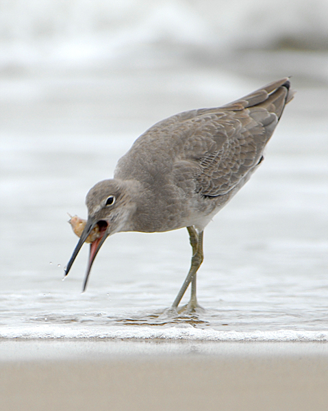2006-1014Willet_w_Emerita4