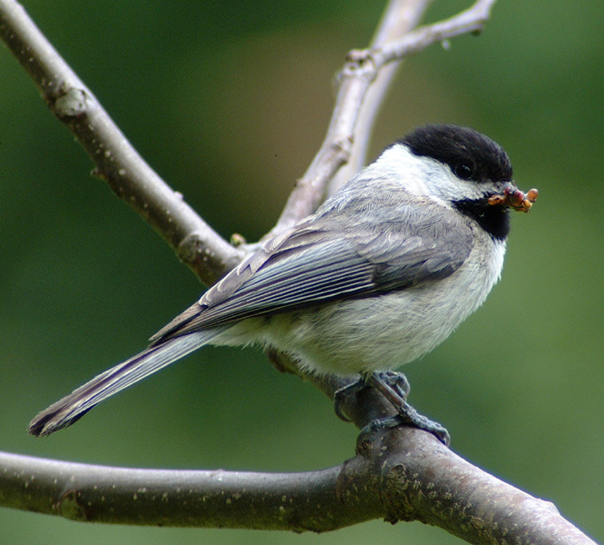 carolina_chickadee