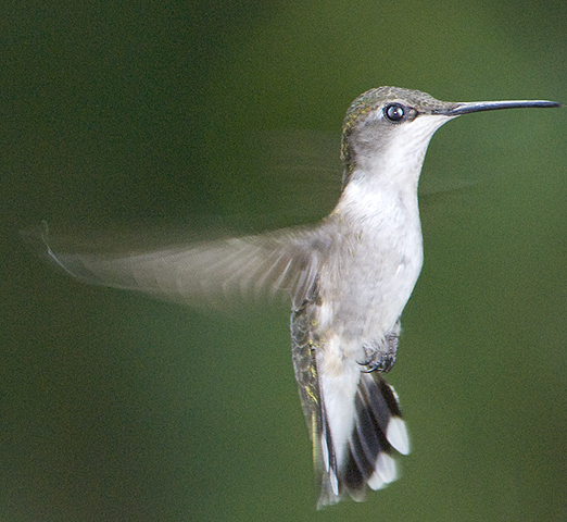 hummingbird_female_2
