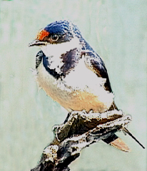 white-throated_swallow