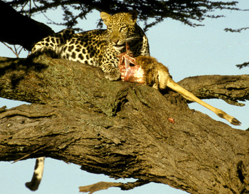 LeopardinTree12_4_98