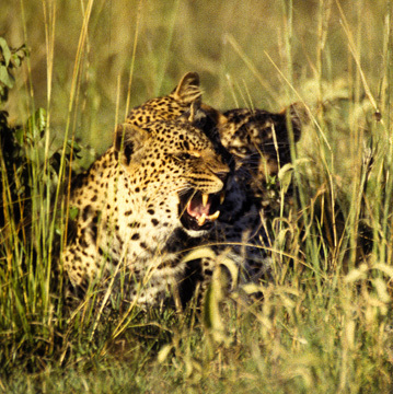 Leopards3ingrass4_98