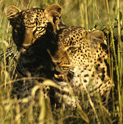 Leopards8ingrass4_98