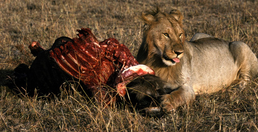 Lion2eating9_93