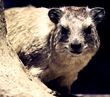 RockHyrax1on6_99