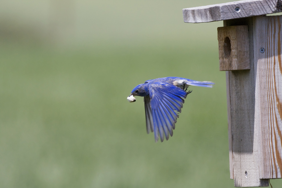 bluebird_male_fecalsac