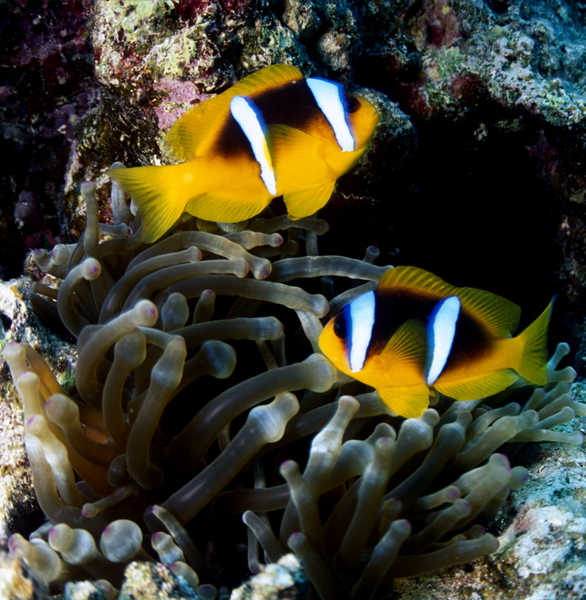 Amphiprion