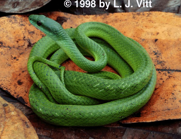 Photo of Philodryas viridissima