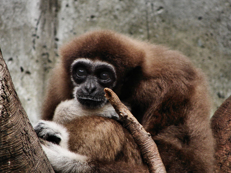 084whitehandgibbon