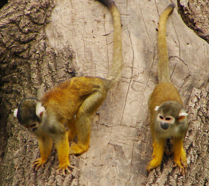 138squirrelmonkey