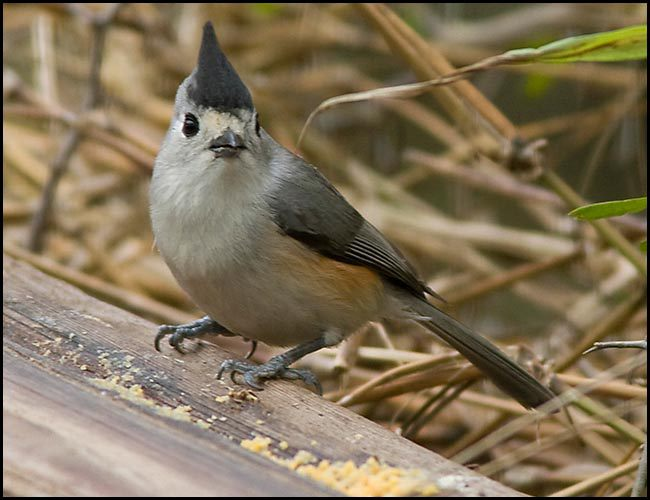 blackcrestedtitmouse