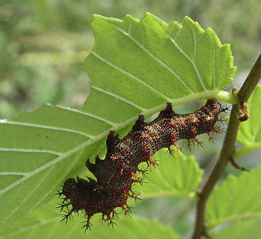 polygonia_interroganlarva