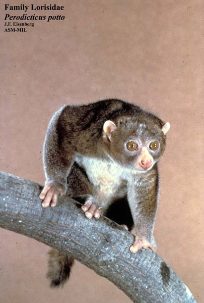 Perodicticus potto