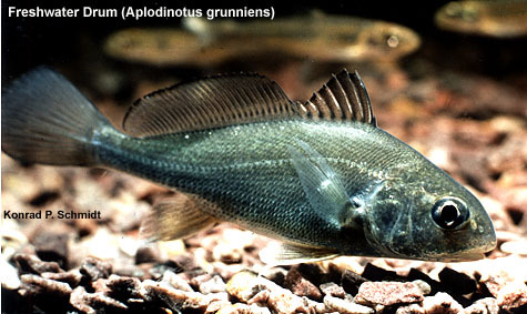 Freshwater Drum Fish Diagram Inside - Block And Schematic Diagrams •