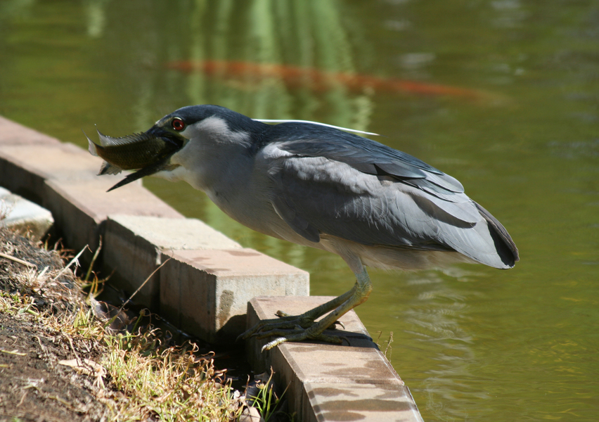Nnycticorax_fish