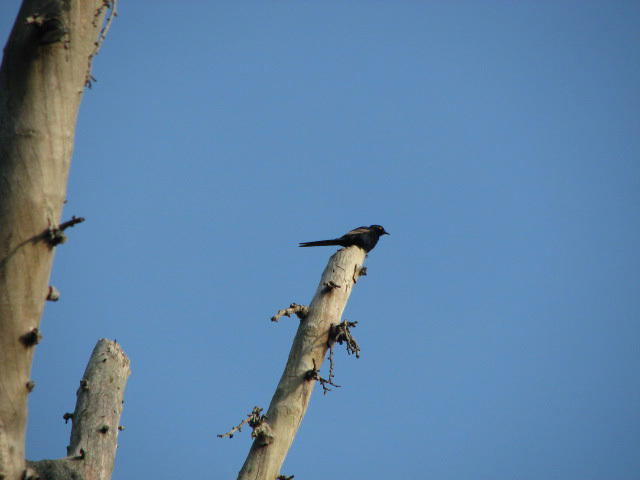 narrowtailedstarling3007