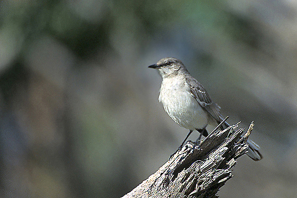 NorthernMockingbird