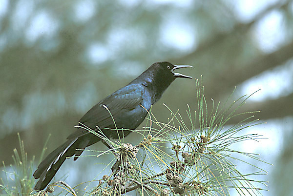 boattailgrackle