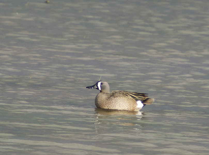bluewinged_teal7020