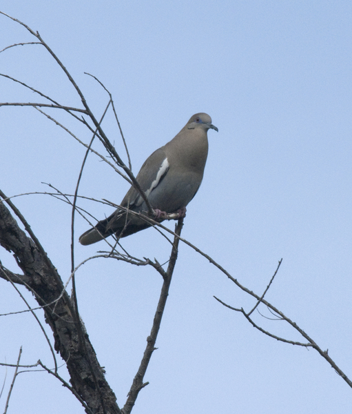 white-winged_dove0411