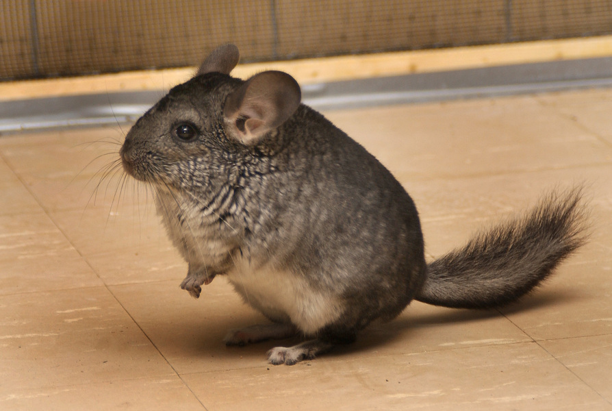 chinchilla9538