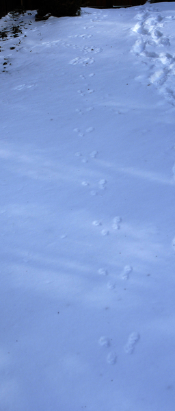 fox_squirrel_tracks2659