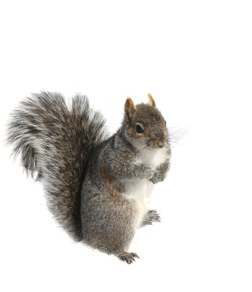 gray_squirrel2704