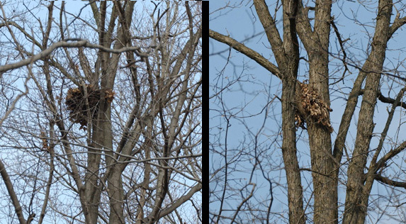 graysquirrel_nests_crop