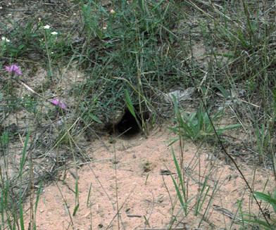 groundsquirrel_burrow_crop