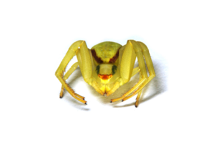 Photo of Misumena vatia