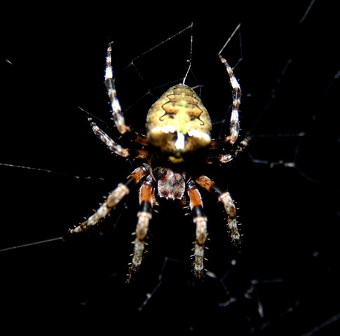 Photo of Araneus