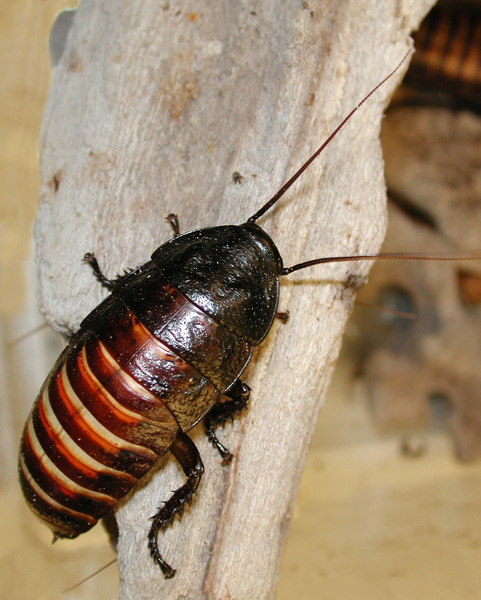 hissing_cockroach2