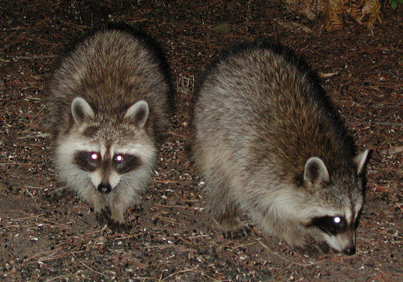 coons2