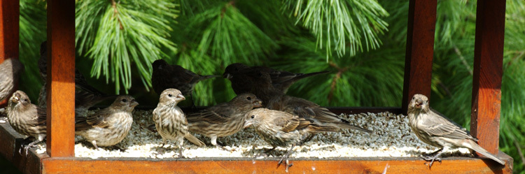 feederfinches