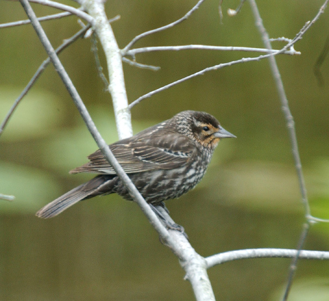 female_redwing