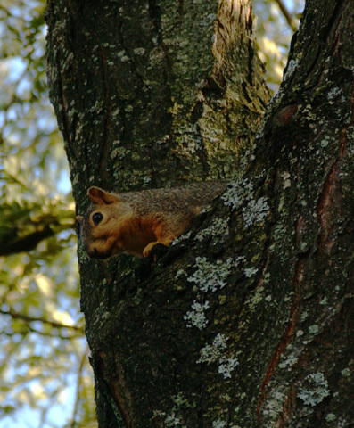 fox_squirrel1