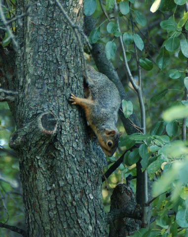 fox_squirrel2