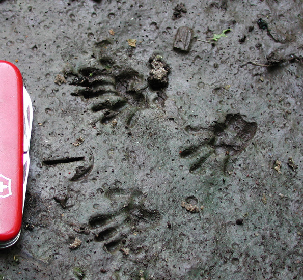 gray_squirrel_tracks