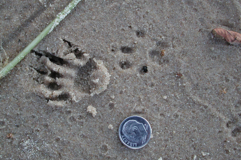 graysquirrel_tracks