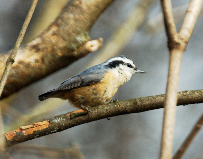 rb_nuthatch