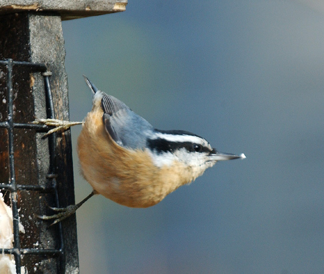 rb_nuthatch2