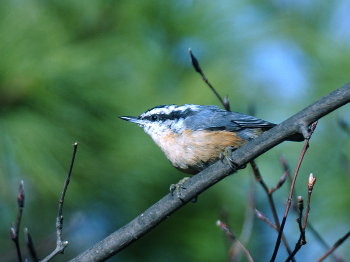 rb_nuthatch3