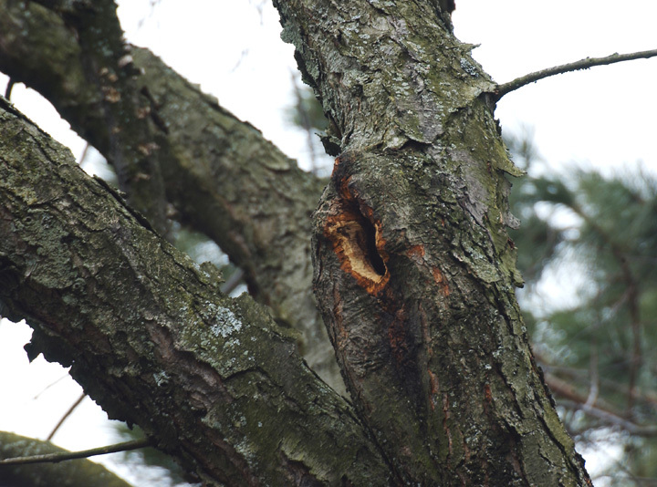 redsquirrel_den