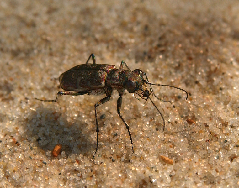 tiger_beetle6313