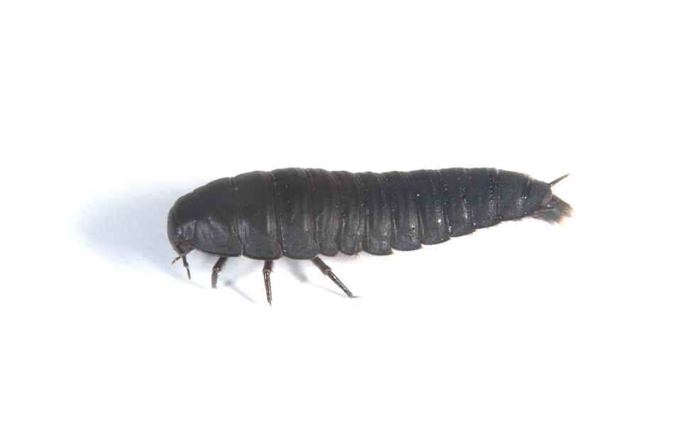 Staphylinoidea