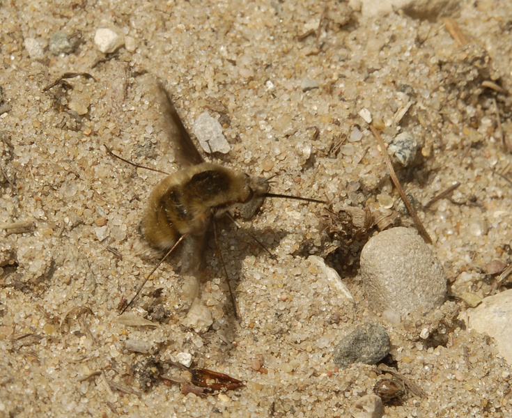 Bombylius_major0027
