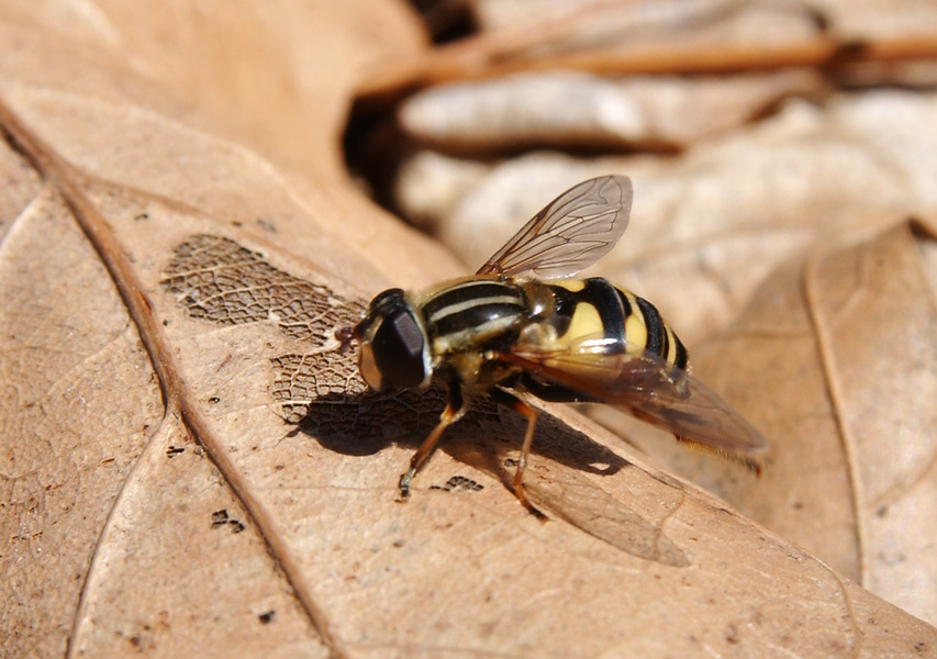syrphid2